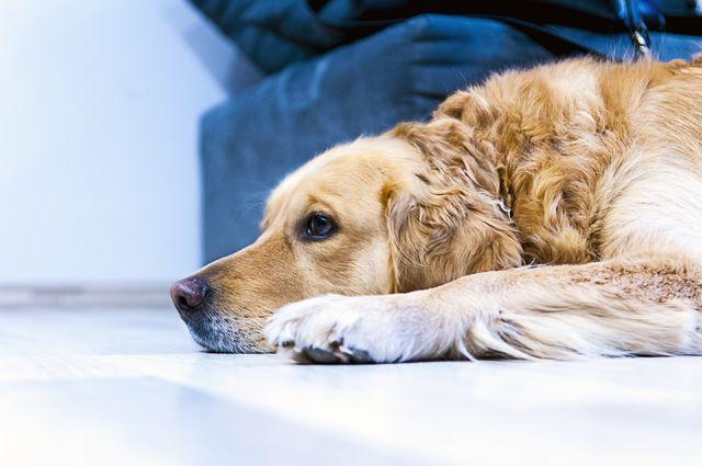 Пес лежит возле дивана