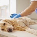 Восстановительный период после операции у собаки