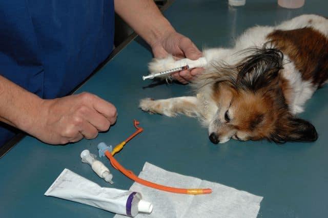 Забор крови у собаки