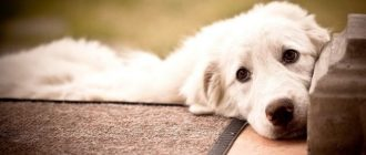 Пес лежит на крыльце
