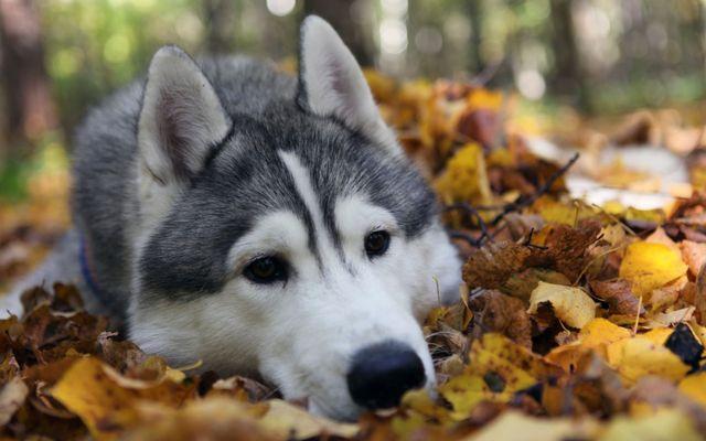 Хаски в опавшей листве