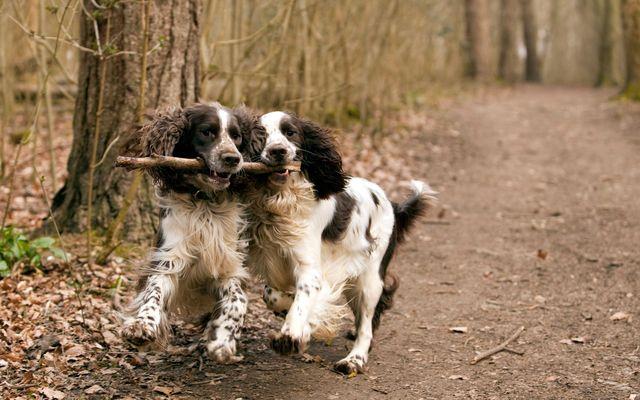 Собаки играют с палкой