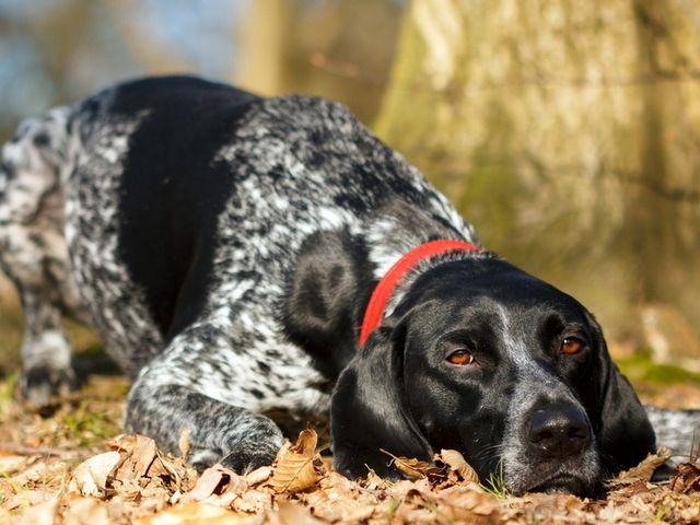 Пес лежит на листве