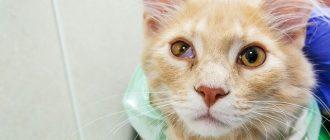 Кошка. Синдром Горнера
