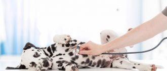 Ветеринар слушает далматина