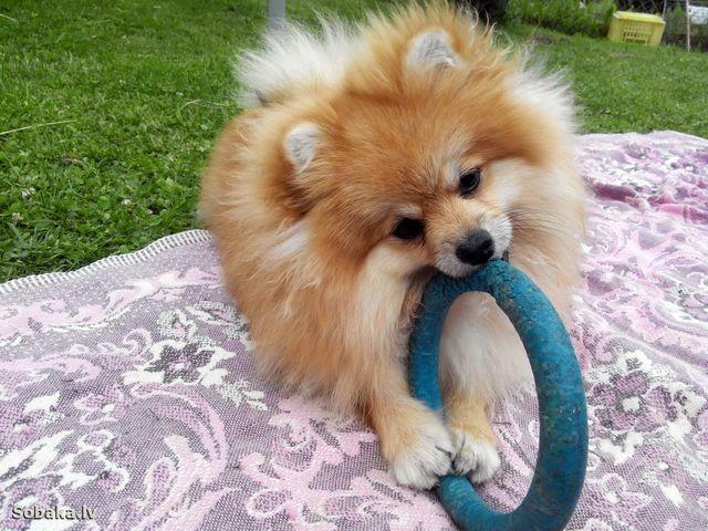 Пес играет с резиновым кругом