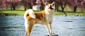 Пес с палкой в зубах