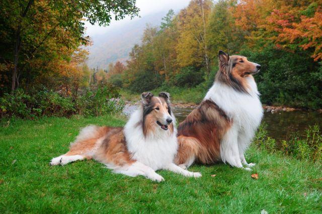 Две собаки на фоне леса