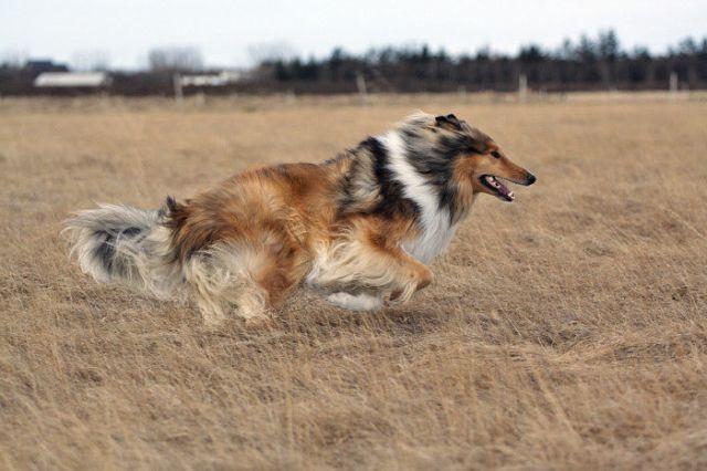 Пес бежит по полю