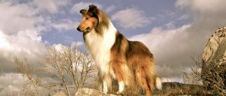 Пес на вершине горы