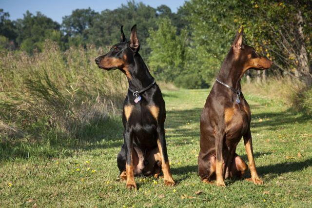Две собаки на лугу