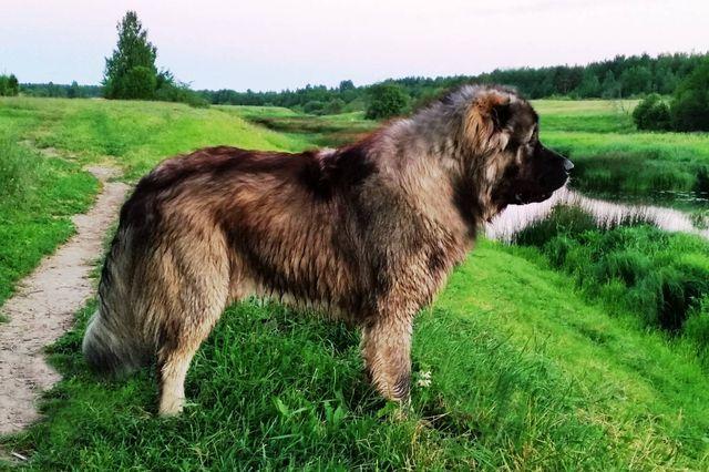 кавказская овчарка размеры и вес