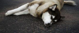 Пес лежит на дороге