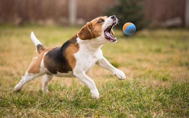 Пес ловит мяч