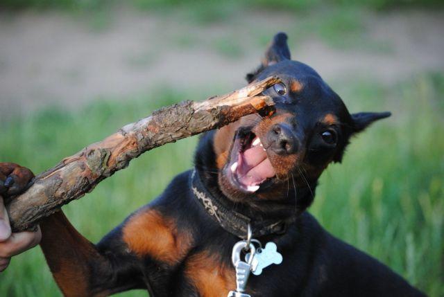 Пес играет с палкой