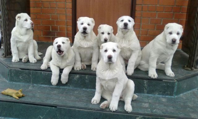 puppies of Alabai