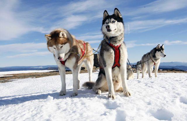 Собаки в упряжке
