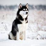 Как ухаживать за собаками породы хаски