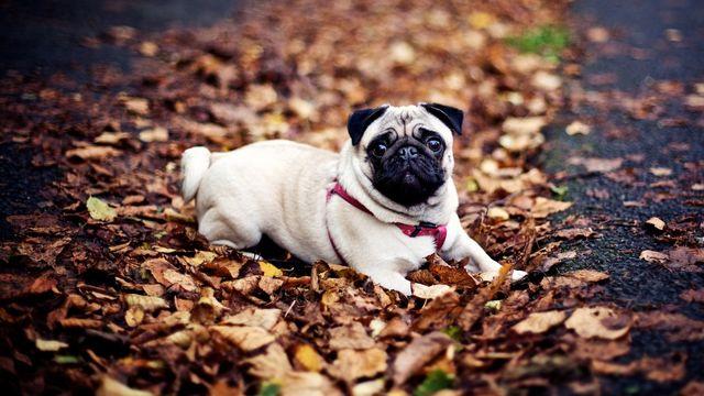 Собака на упавших листьях