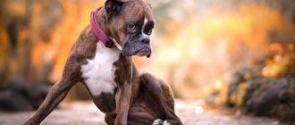 Пес сидит на дорожке