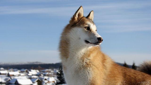 Пес с рыжим окрасом