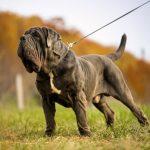 Все про собак породы мастиф