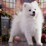 Описание пород собак японский шпиц