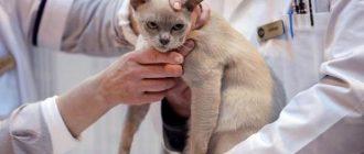 Ветеринар осматривает кошку