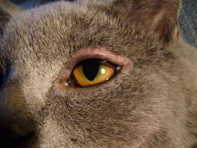 Воспаленный глаз у кота