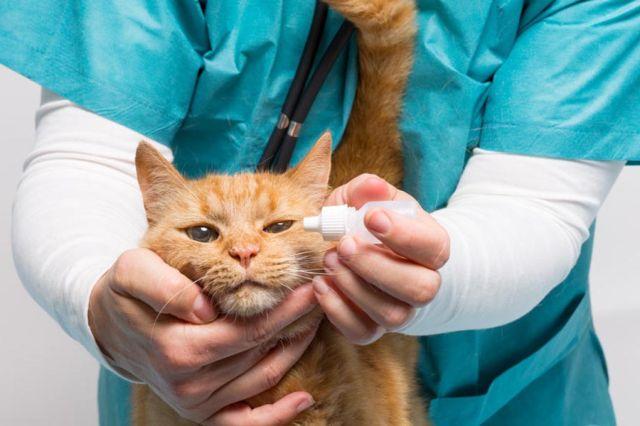 Ветеринар лечит глаза у кота