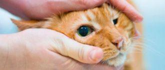 Врач держит голову кошке