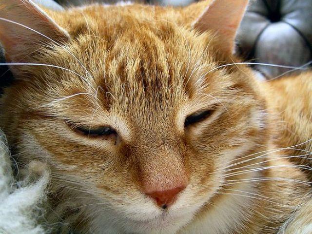 Рыжий кот щюрится