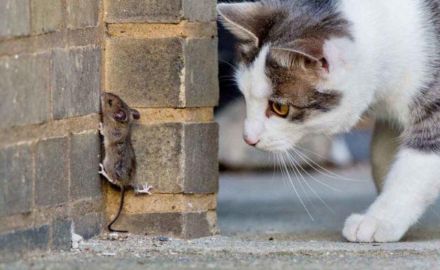 Кошка охотится за мышью