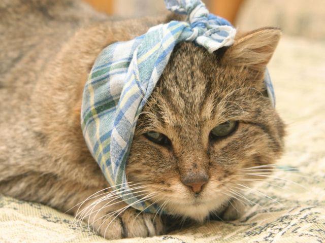 У кошки перевязано ухо
