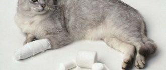 Кошка с забинтованной лапой