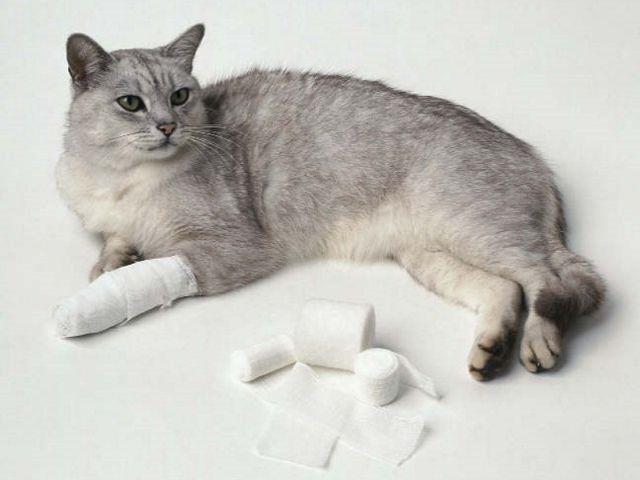 Вывих у кошки сустава или лапы симптомы лечение причины