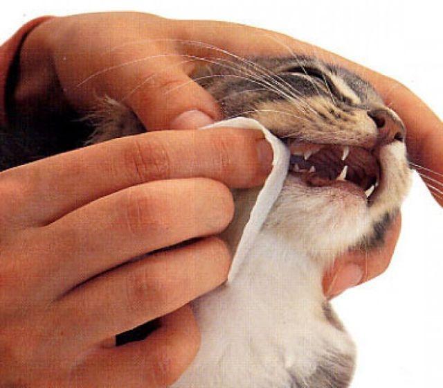 Человек протирает зубы кошке