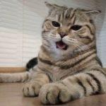 Лечение и профилактика астмы у кошек