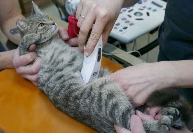 От чего у кошек развивается панкреатит thumbnail