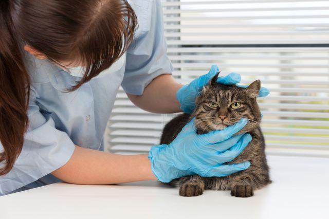 Врач осматривает кота