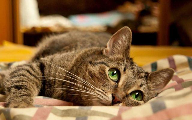 Кот лежит на одеяле