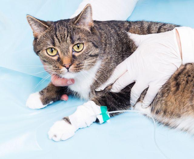 Кот в руках врача