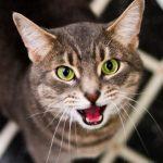 Если у вашей кошки стоматит