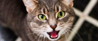 Кот открыл рот