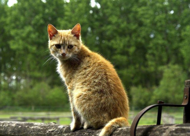 Грязный рыжий кот