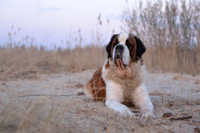 Пес на песке лежит