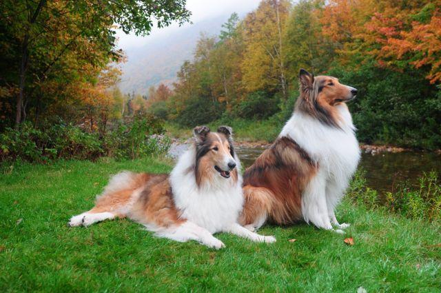 Две собаки на опушке