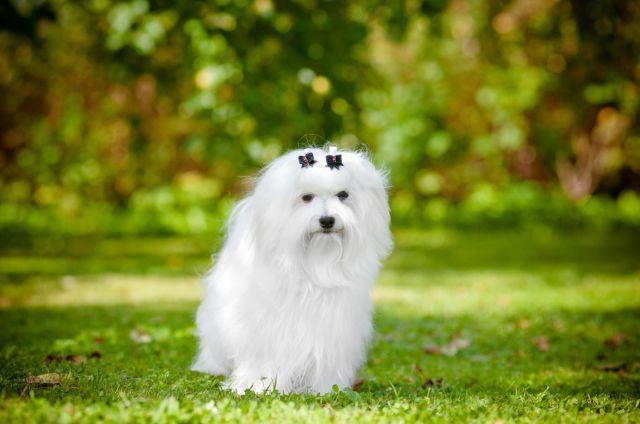 Белая собачка в саду