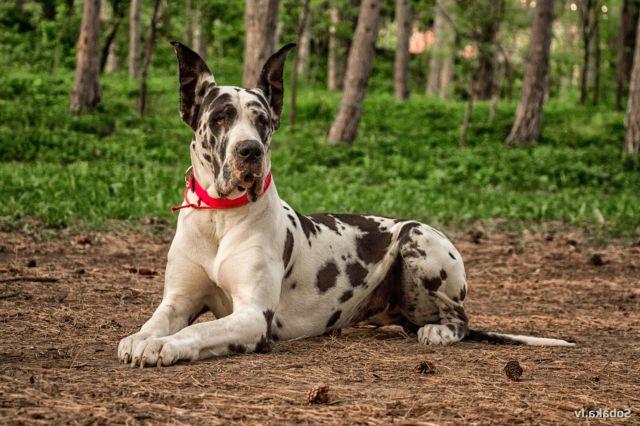 Пес лежит на лесной дороге