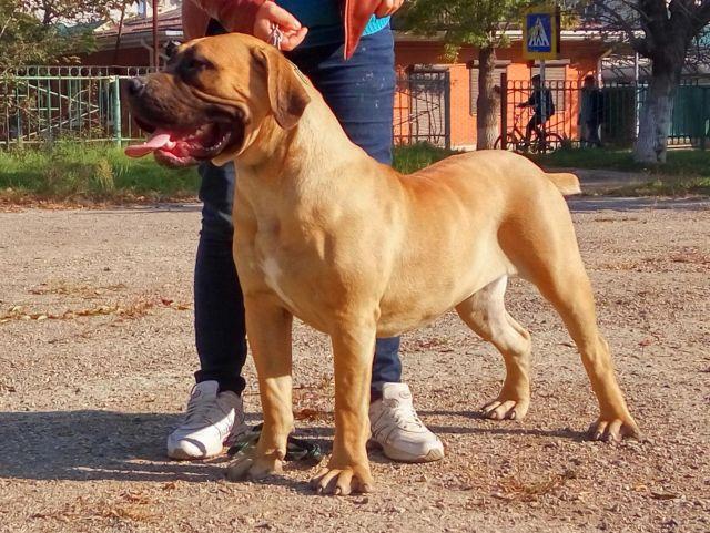 Крупная собака с хозяином